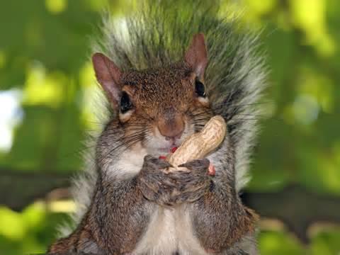 squirrel innocent